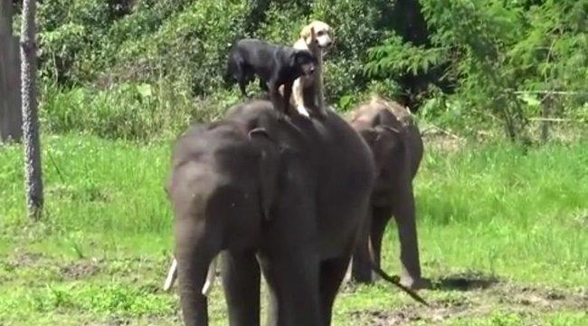 Micsoda barátság: mentőkutyák utaznak az elefánt hátán – videó