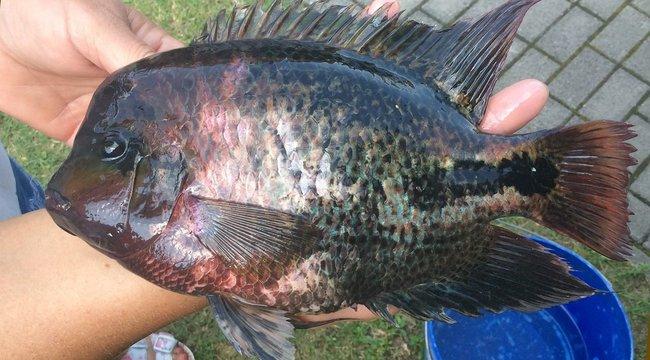 Hogy került oda?Trópusi halat fogtak a Hévízi-tónál