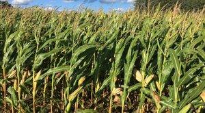 Tragédia a kukoricásban: elaludt a fiú, halálra gázolta a silózó