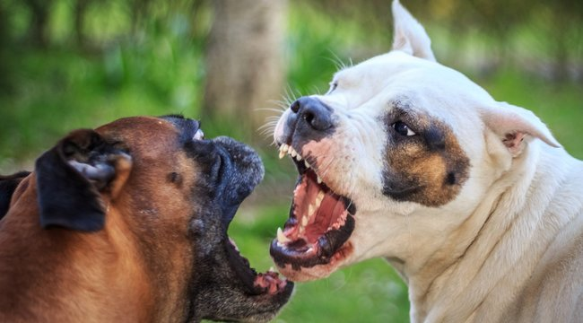 Harci ebeket tenyészt a hajléktalan kutyamaffia