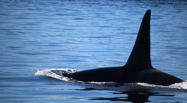 Szerfelett játékos és kiváncsi, de vitorlás hajókat támad a gyilkos bálna a spanyol partoknál - Videó