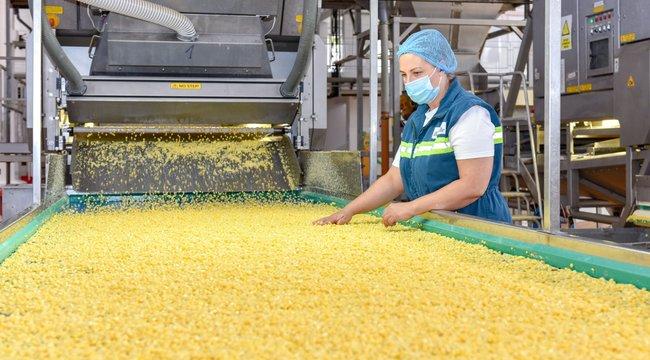 Hawaii-ig érnének sorban a dobozok – végigkísértük: fél nap alatt lesz a kukoricából konzerv