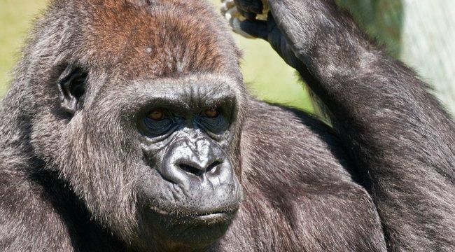 Gondozójára támadt egy 200 kilós gorilla, a nő állapota válságos
