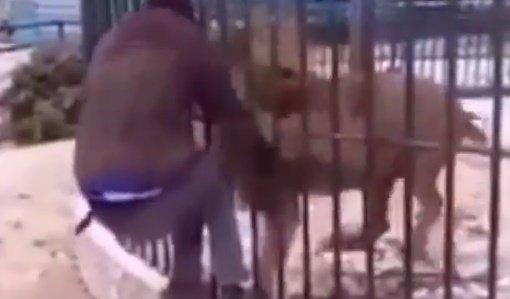 Valóra vált rémálom: megpróbálta letépni gondozója karját a megvadult oroszlán – felkavaró videó