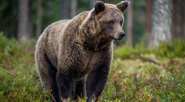 Megválasztották Alaszka legkövérebb medvéjét! Gratulálunk a győztesnek!