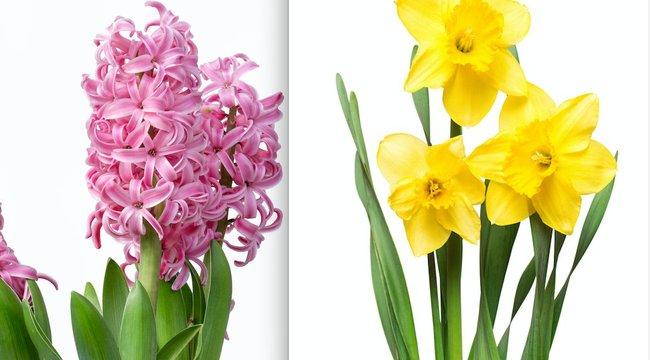 Varázserejű virágok: Halálból született az illatos jácint és nárcisz