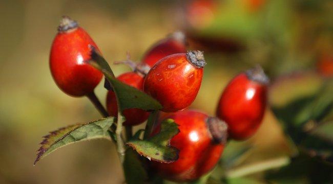 Őszi immunerősítés: lekvárhoz a puha, teához a kemény csipkebogyót szedje