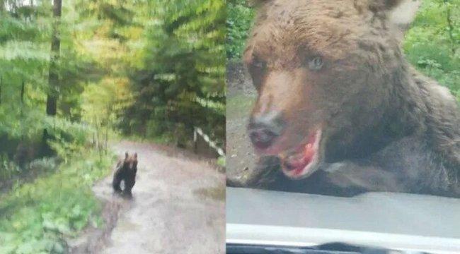 Medvebűnözés: Munkásokra támadt, majd kiharapott egy darabot a rendőrkocsi lökhárítójából a nagyragadozó