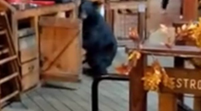 Éhes fekete medve rontott az emberekkel teli étterembe, még a vécébe is bement, hogy teletömje a hasát - Videó