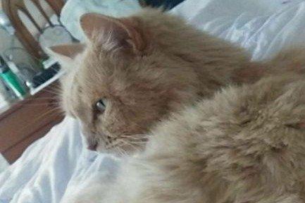 Szívbetegen és légzési problémákkal került elő a három éve eltűnt Keksz, a macska