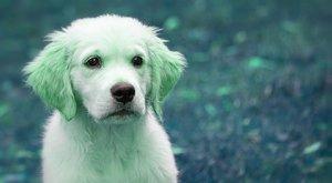 Hogy mi? Zöld kutya született Szardínián