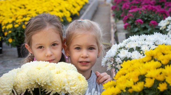 Idén drágább lesz a krizantém, amit ezer éve nemesítenek és nem csak egy egyszerű kegyeleti virág