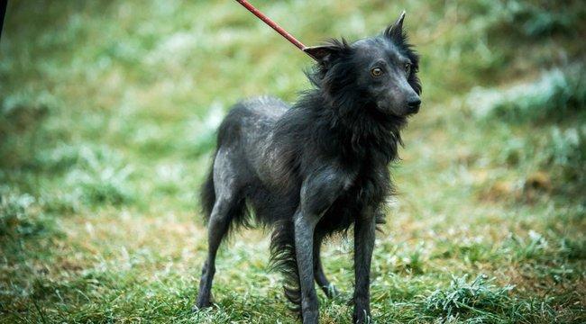 Nemzeti kincs lesz májzli, a magyar kopasz kutya