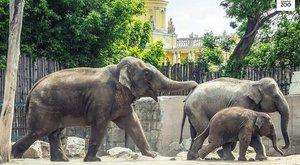 Örömhír:Újra vemhes az Állatkert elefántja