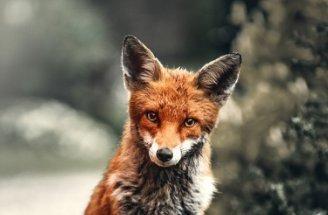 Nyílpuskával öltek meg két rókát Londonban