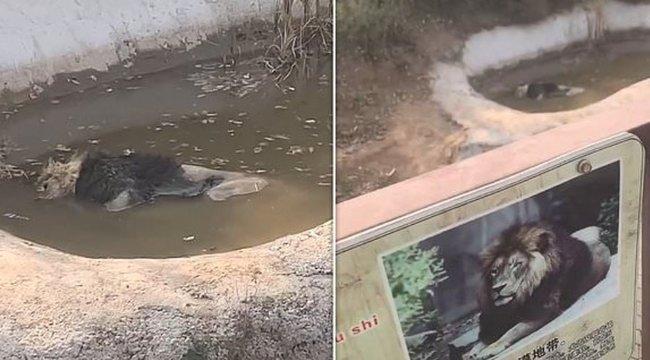 Csak alszik – mondta a látogatóknak a kínai állatkert igazgatója az elpusztult oroszlánra – videó