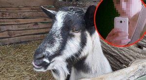 Kaposvári kecskegyilkosság –Bosszúból vágta le Rozi fejét a kegyetlen remete