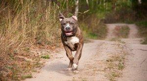 Borzalom: pitbullok támadtak meg egy ötévest, megskalpolták és letépték a fülét