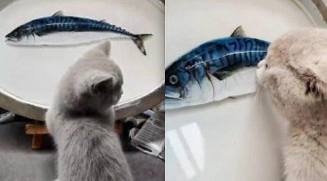 Cukiság a köbön: ennyire rákattant a cica a rajzolt halra – videó