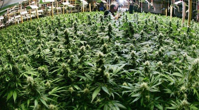 Rendkívül magas áramszámla buktatott le marihuánatermesztőket