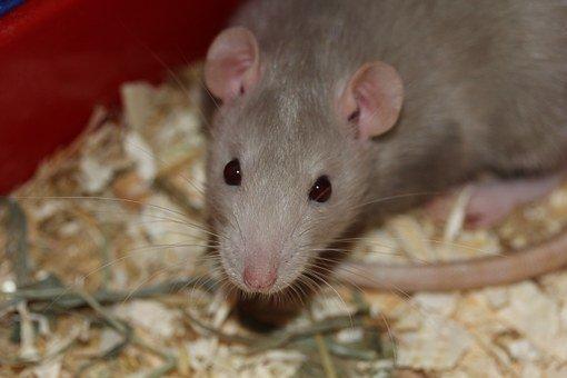 Patkánnyal társbérletben? Tuti tippek a rágcsálók kiirtásához | BorsOnline