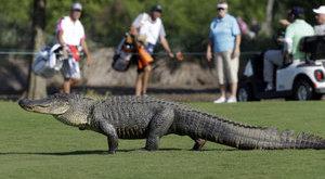 Aligátor ijesztgette a golfozókat