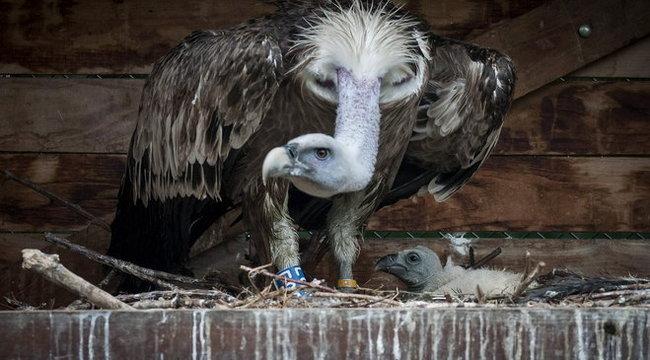 Kihalt állat példánya született Hortobágyon