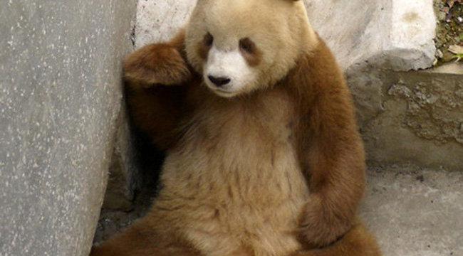 Megdöbbentő: bebarnult a panda