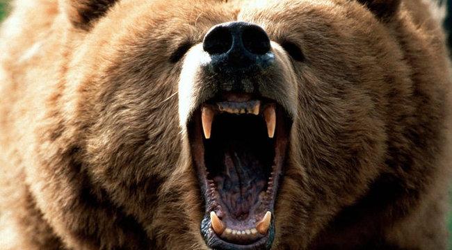 Medvétől védte meg bogyószedő kedvesét