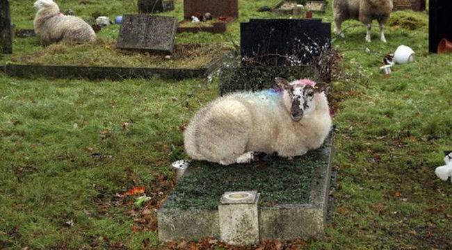 Durva: birkák randalíroznak a temetőben