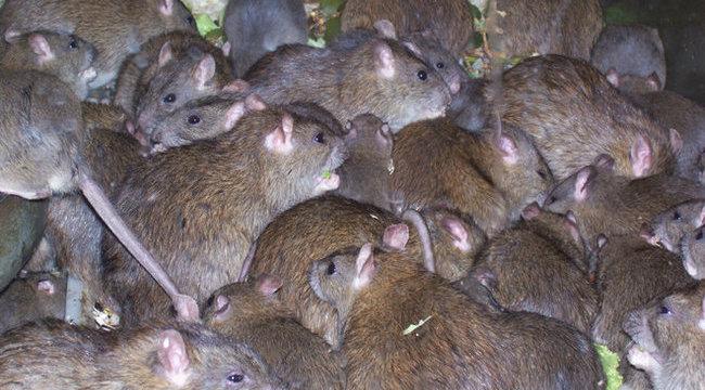 Durva:kannibál patkányoktól rettegnek