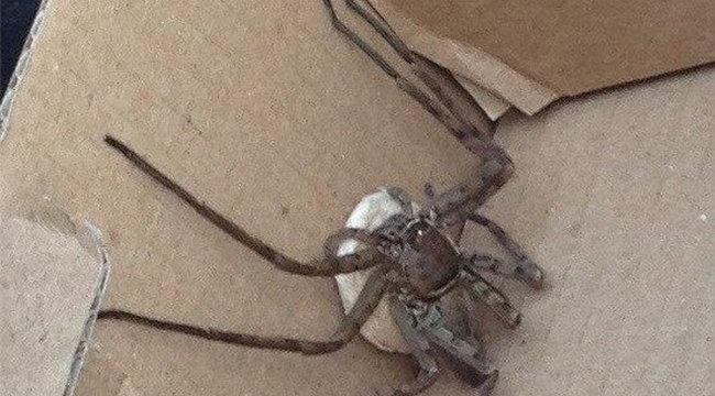 Mérgező pók tények