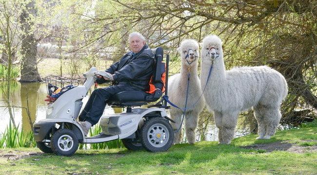 Hihetetlen: alpakák őrzik Bennett úr kacsáit