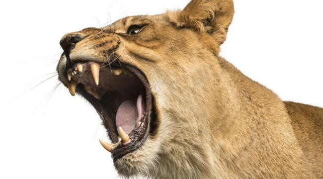 Veszélyben: ma is vadállatok prédája lehet