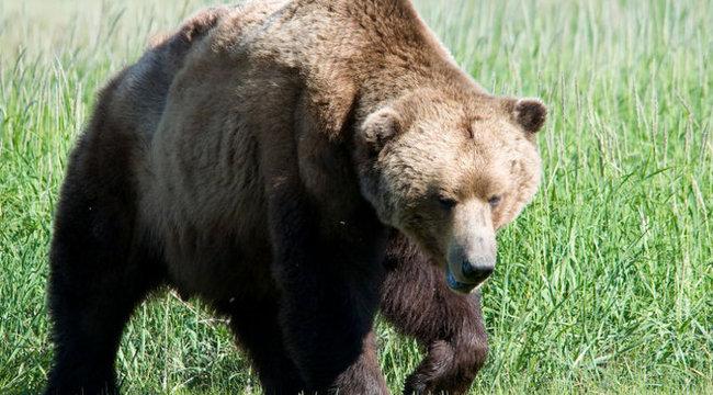 Vigyázat! Újra medve ólálkodik a Bükkben