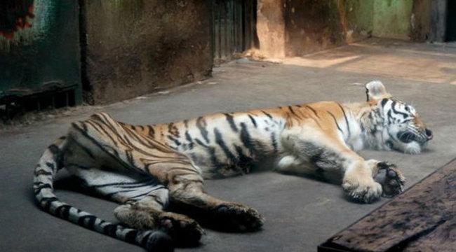 Szörnyű dolgot tettek a szerencsétlen tigrissel