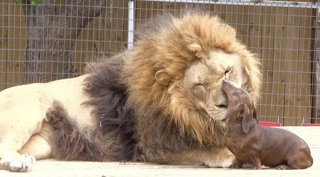 Megacukiság: elválaszthatatlan tacskó barátjától az oroszlán