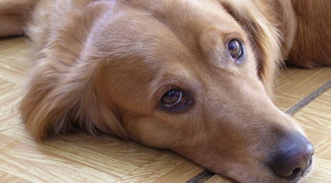 Napi szomorú: a kutyák is pesszimisták