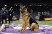 Kutyakiállítás az Egyesült Államokban