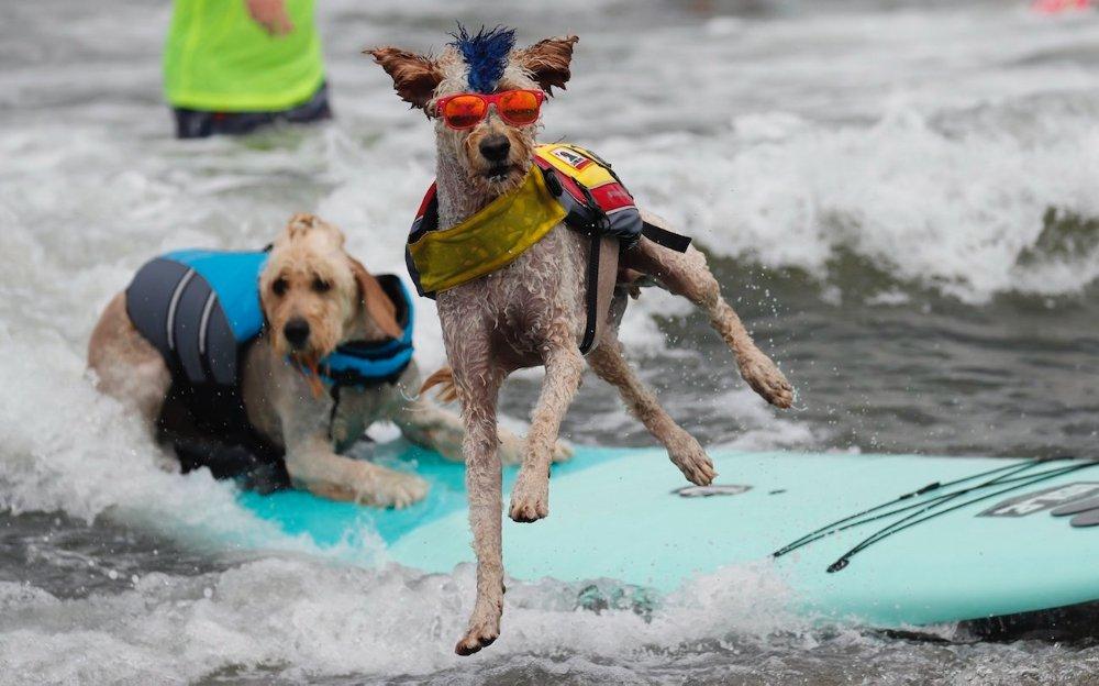 Szörföző kutyák versenyeztek Kaliforniában