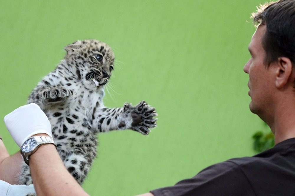 Perzsa leopárdkölykök Jászberényben