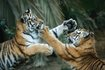 Tigriskölykök Portugáliában