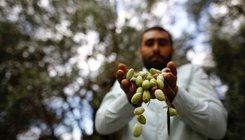 Elkezdődött az éves oliva szüret a Gázai övezetben