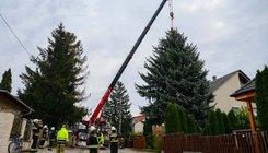 Kivágták az ország karácsonyfájának felajánlott fenyőt Székesfehérváron